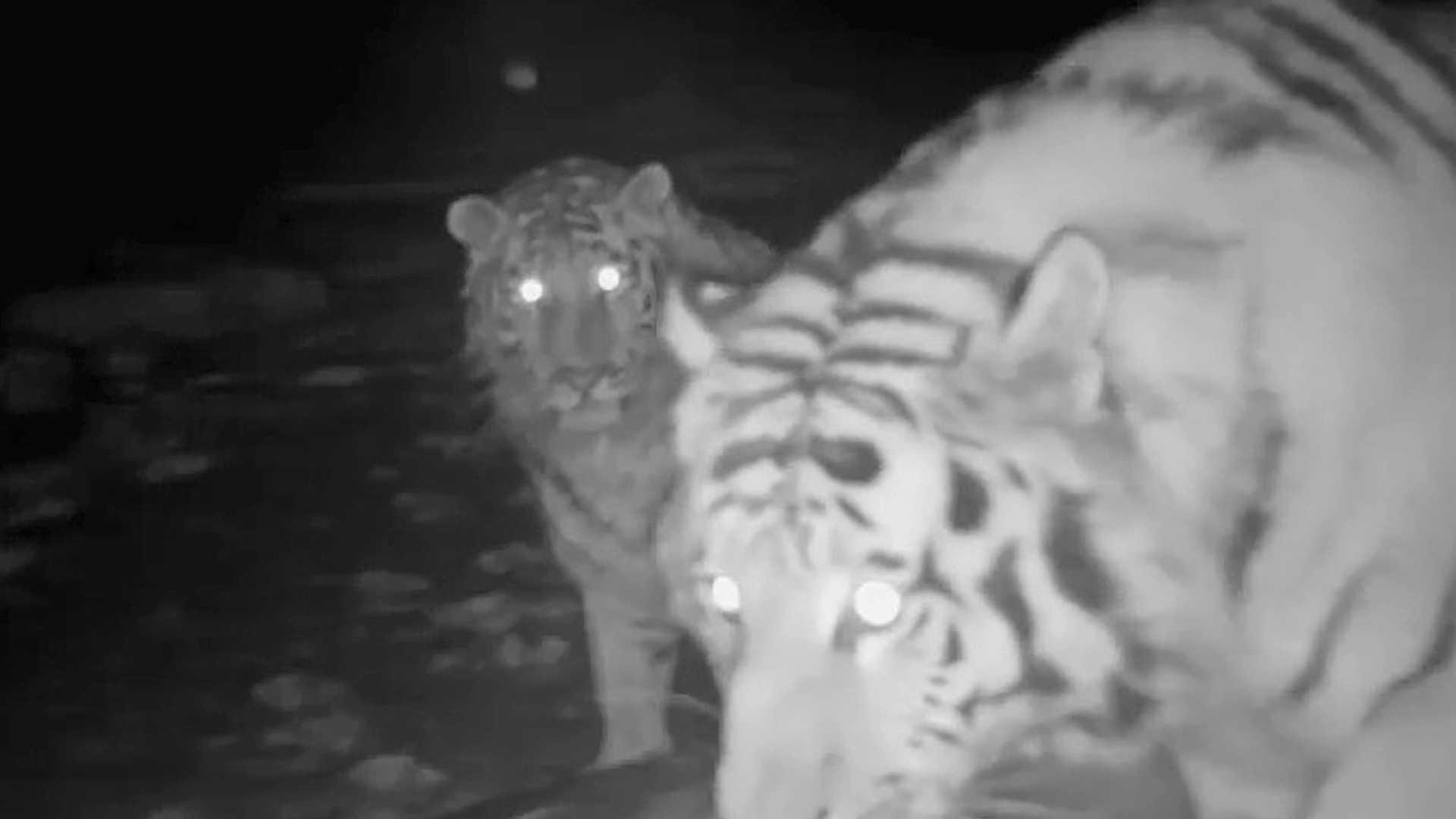 VIDEO: Close-Up Footage Shows Endangered Siberian Tigress And Cub Discovering Hidden Camera Trap