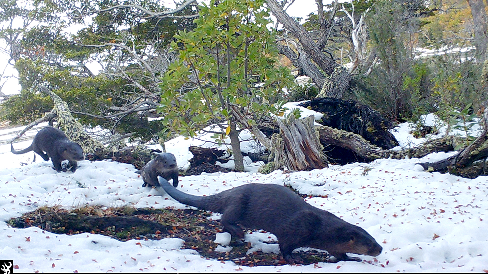 VIDEO: Scientists Battle To Save Critically Endangered Argie Otter With Only 250 Of The Species Left
