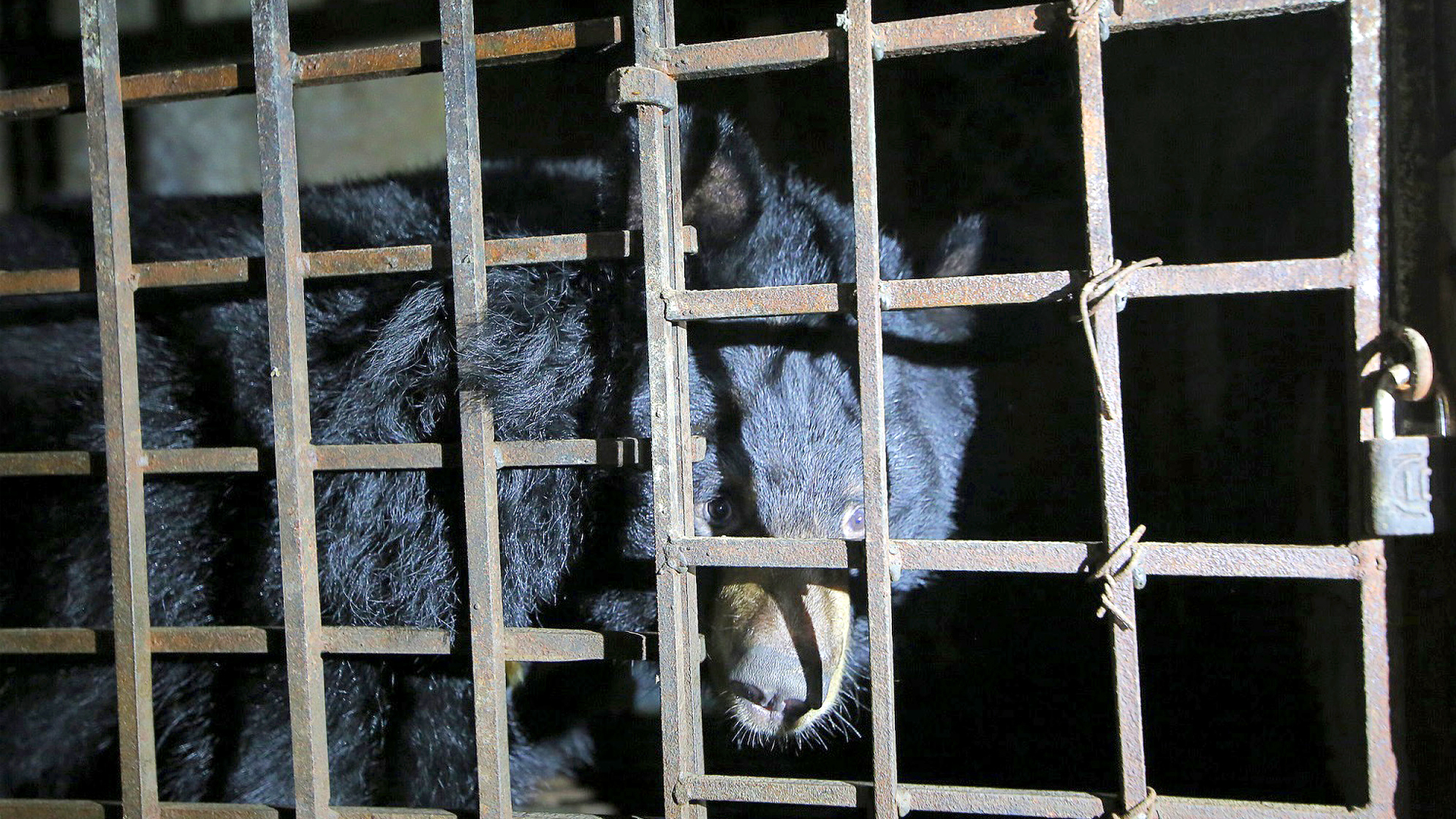 VIDEO: Un-Bear-able Cruelty: Endangered Bears Rescued From Torture Of Evil Bile Farm