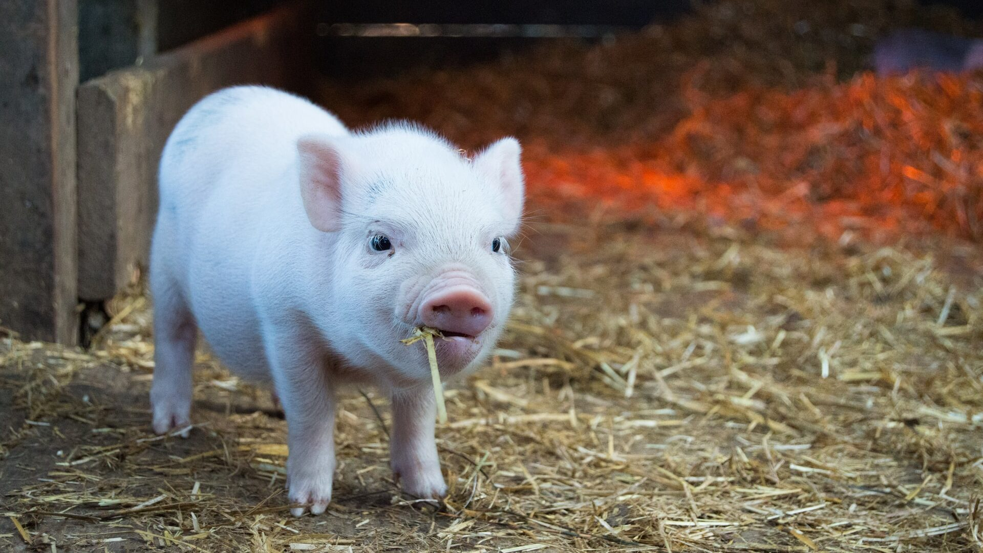 Oral COVID Vaccine Candidate Produces Antibodies In Pigs