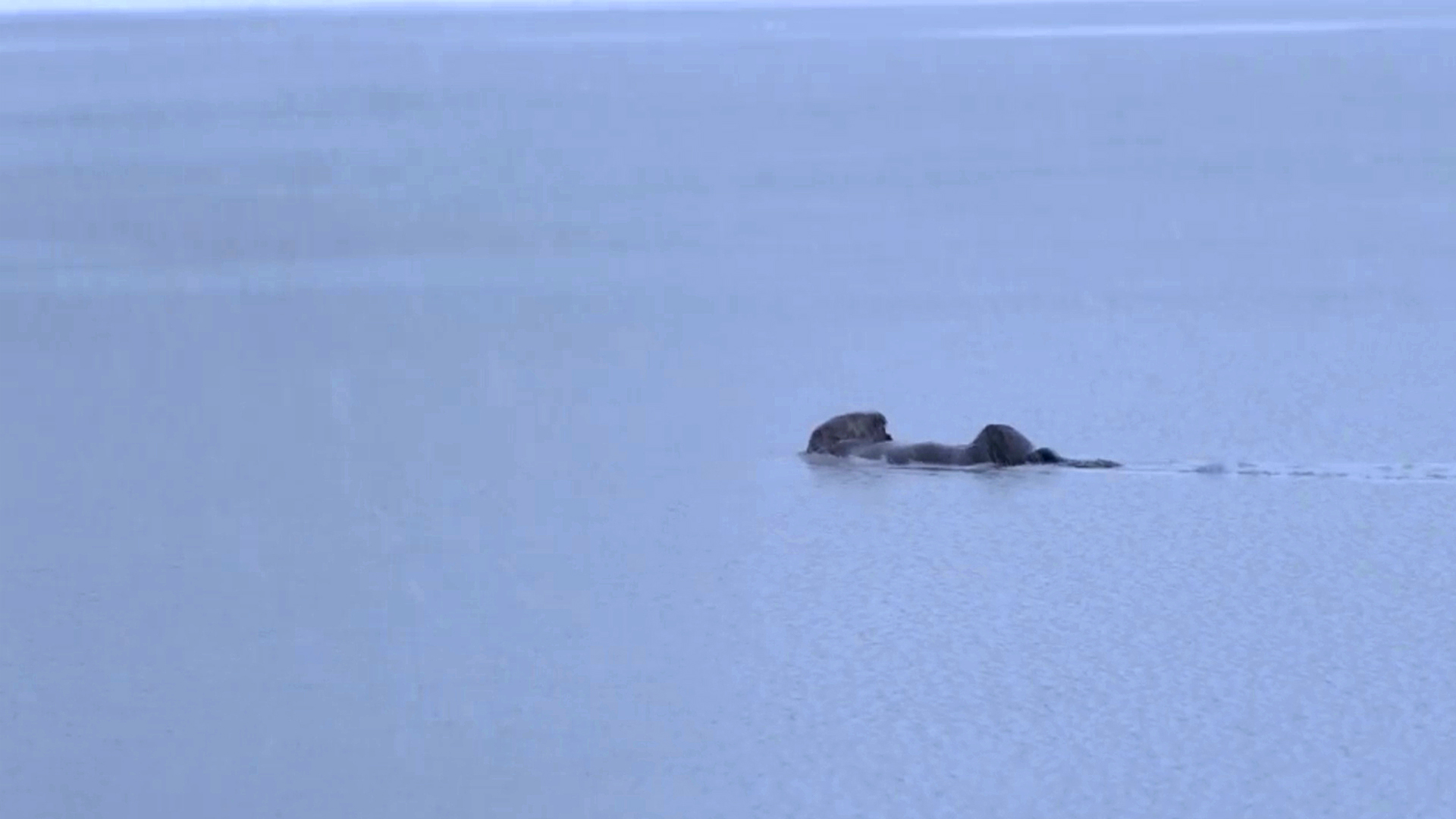 VIDEO: Adorable Otter Swimming During Heavy Snowfall In Search Of Fish