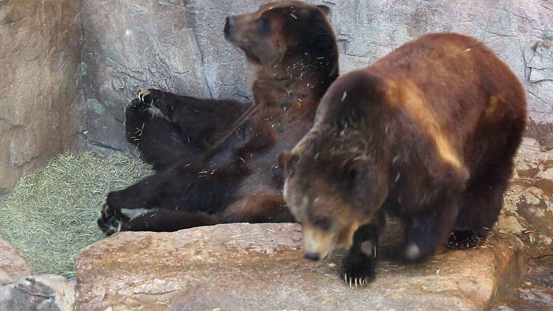 VIDEO: Not So Grizzly: Bears With A Spring On Their Step After Winter Snooze