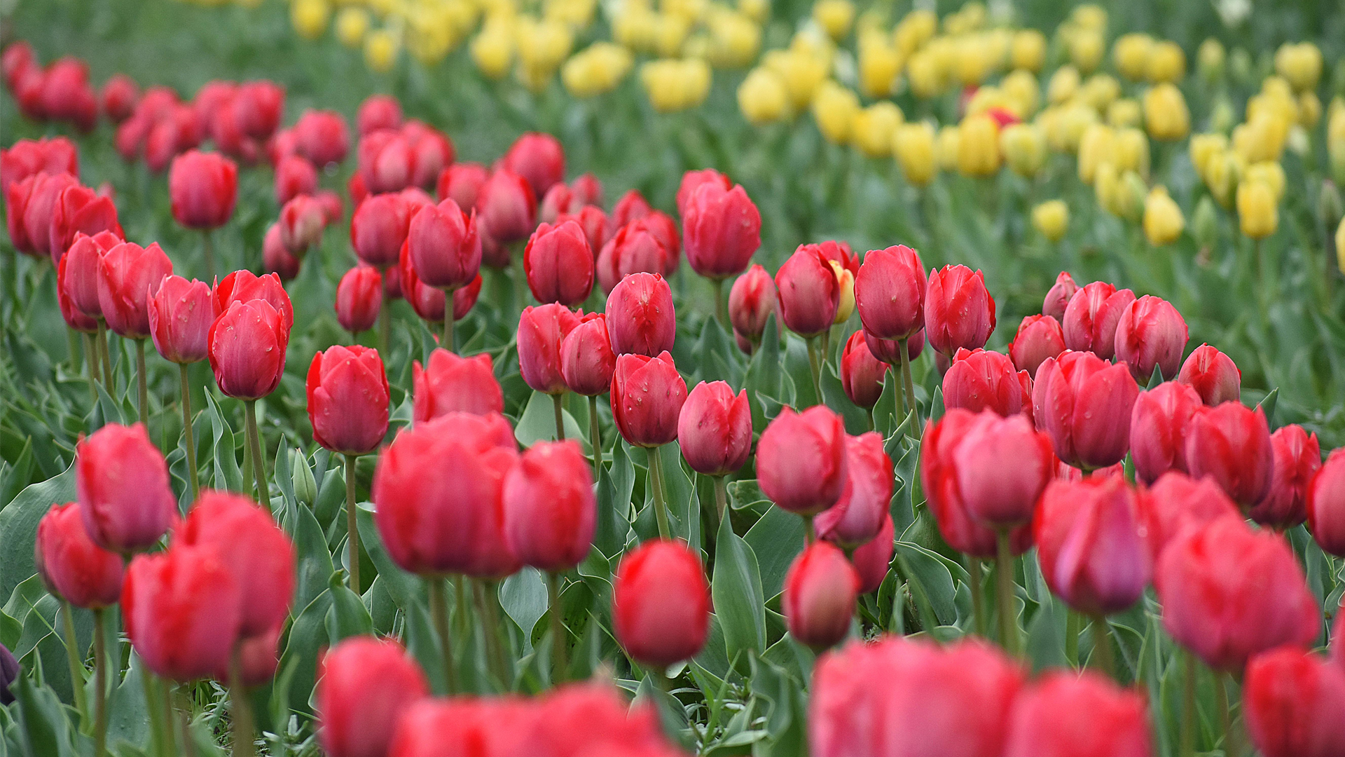 The Bloom Of Tulips Pulls Tourists Back To Kashmir
