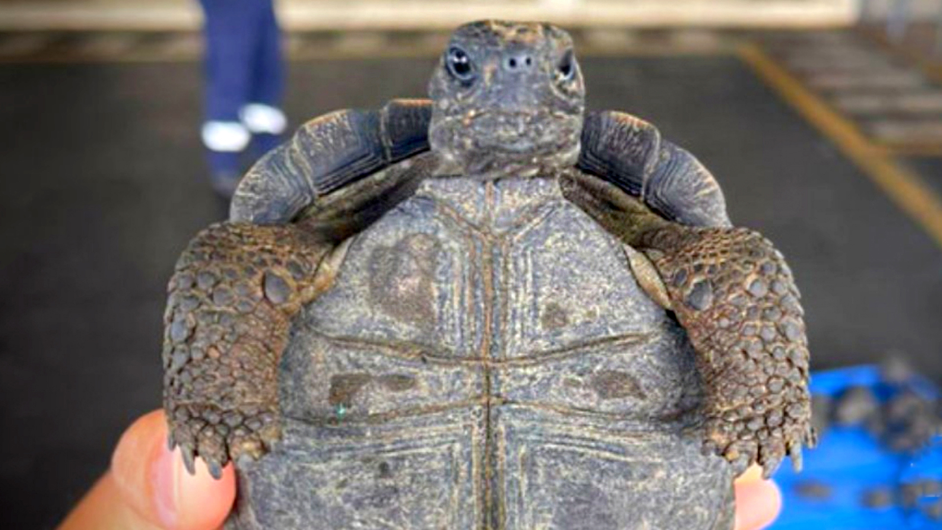 Open And Shut Case: Trafficker Stashed 200 Giant Galapagos Tortoises In His Luggage