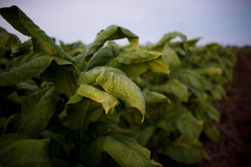Africa's Tobacco-Dependent Economies Struggle To Find Alternatives
