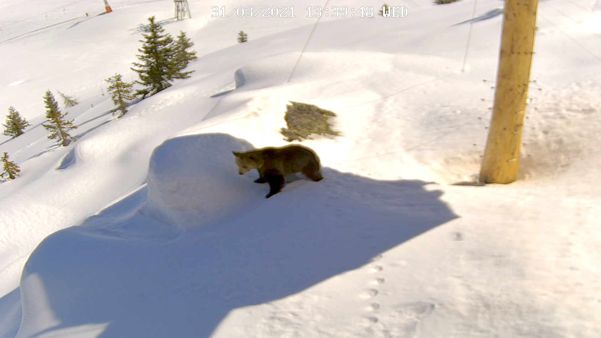 VIDEO: Amelia, The Bear, Pops Out Of Hole In Snow After Months Of Hibernation