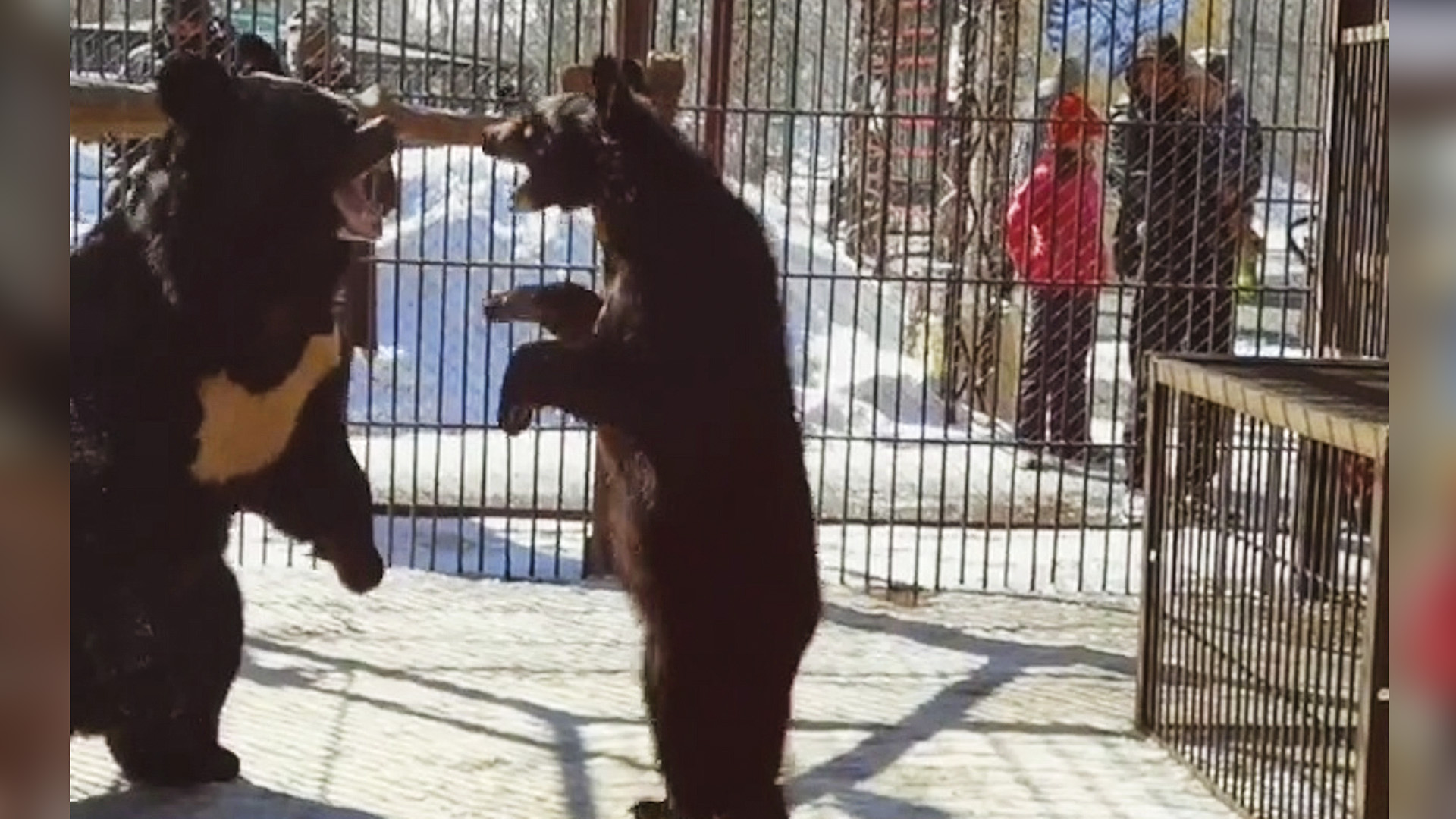 VIDEO: Outrage Over Vulnerable Himalayan Black Bear Family Kept In Cramped And Barren Cage