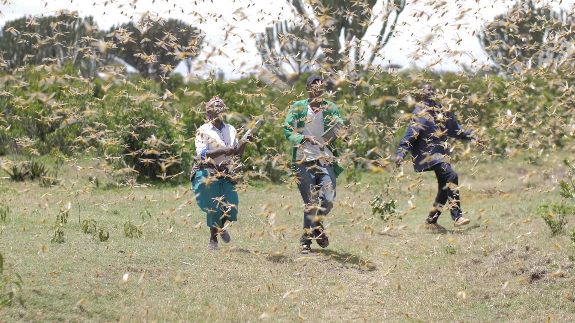 Locust Swarms Destroy Crops, Threaten Livelihoods In Kenya