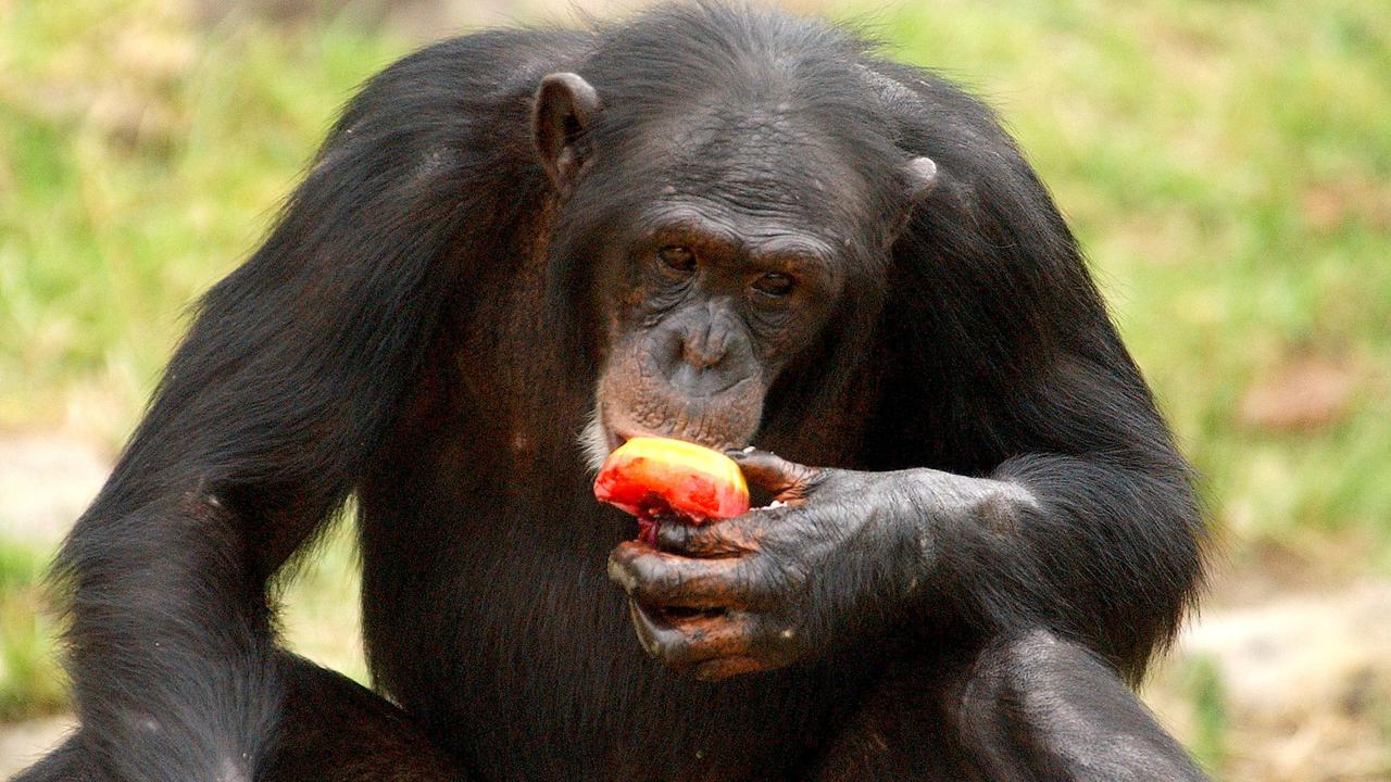 Farewell Chimp: Sydney Zoo's Beloved 'Mogli' Dies