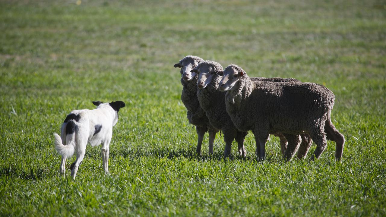 Ewe Mean I'm Sacked? Drones Are Better For Herding Sheep Than Dogs