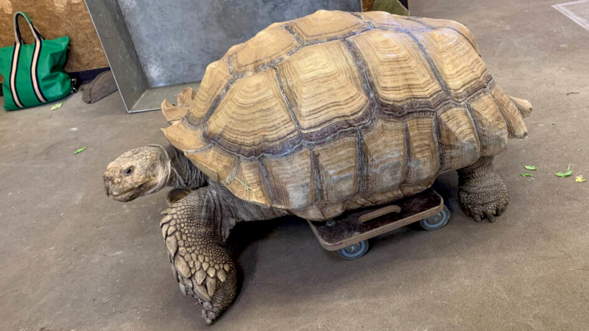 VIDEO: Wheel Fast: Giant Tortoise With Injured Legs Given Skateboard To Get About