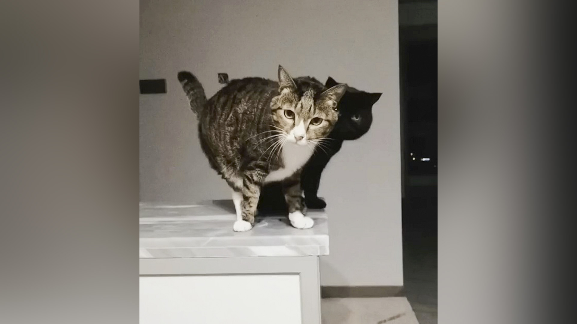 VIDEO: Are Mew Copying Me? Black Cat Plays At Being His Tabby Pal's Shadow