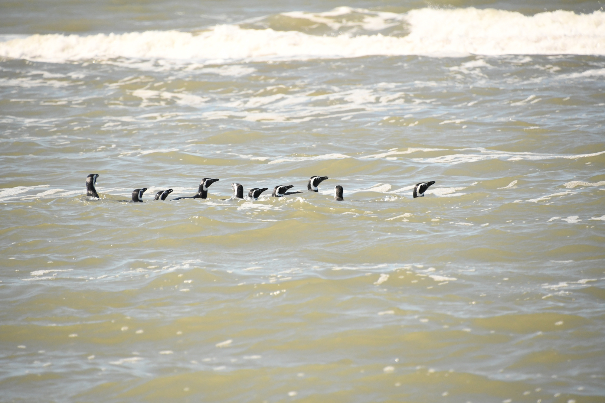 VIDEO: Waddle We Do Now? New Family Of Rescued Penguins Released Back Into The Wild