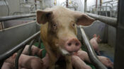 Hellish Conditions On Austrian Pig Farm Exposed In Shocking Footage