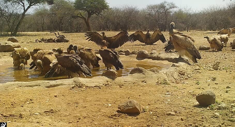 Rescue Plan Hatched To Save Cape Vulture Chicks From Extinction