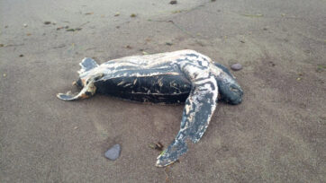 VIDEO: Water Disgrace: Shame Of Seven Plastic Bags Pulled From Rare Turtle Found Dead On A Beach