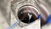 The Grate Escape: Dog Who Chased Rat Down A Drainhole Saved By Firefighters
