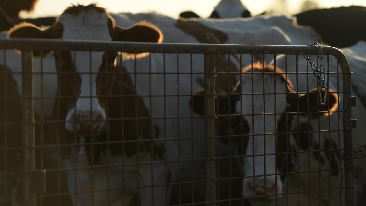 Australia's Tasmania Dairy Giant Probed Over Waste Process
