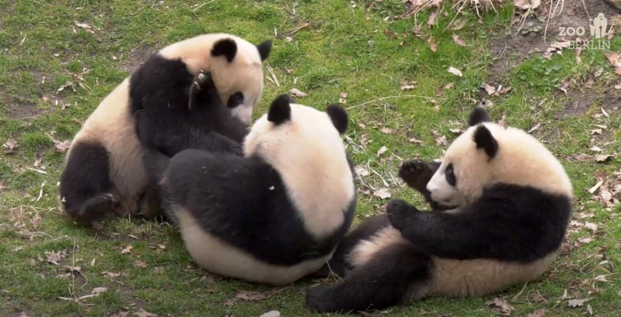 VIDEO: Panda-monium: Playful Twin Cubs Have Captured Berlin's Heart