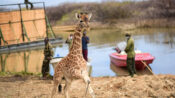 VIDEO: Neck And Neck: Mom And Calf Giraffes Rescued From Flood Island