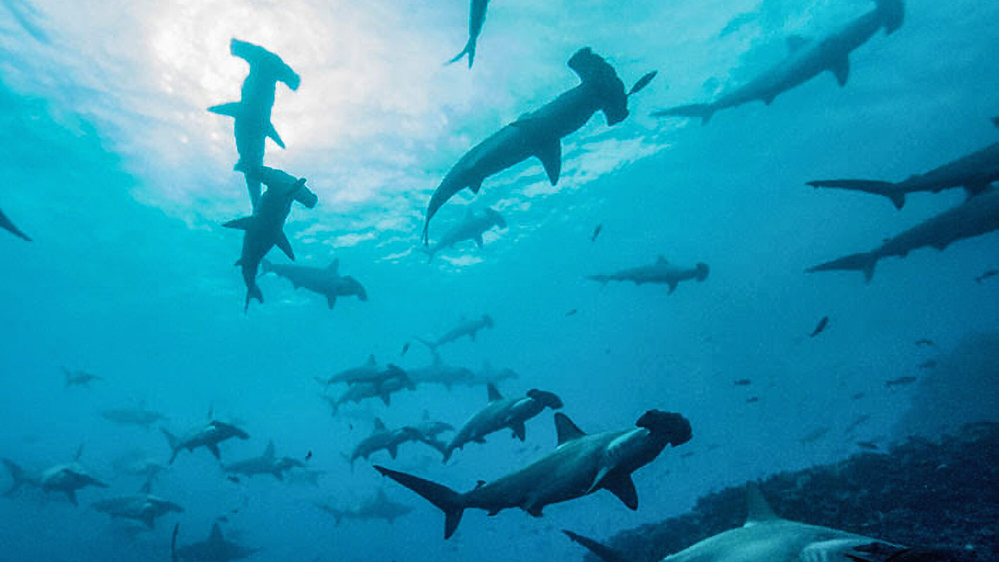 Fin-ders Keepers: Endangered Hammerhead Sharks Could Be Saved By Hi-Tech Trackers