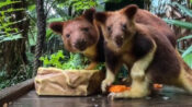 VIDEO: Peek-a-Roo! Pouch Potato Tree Kangaroo Pops Out After 10 Months In His Mom's Pouch
