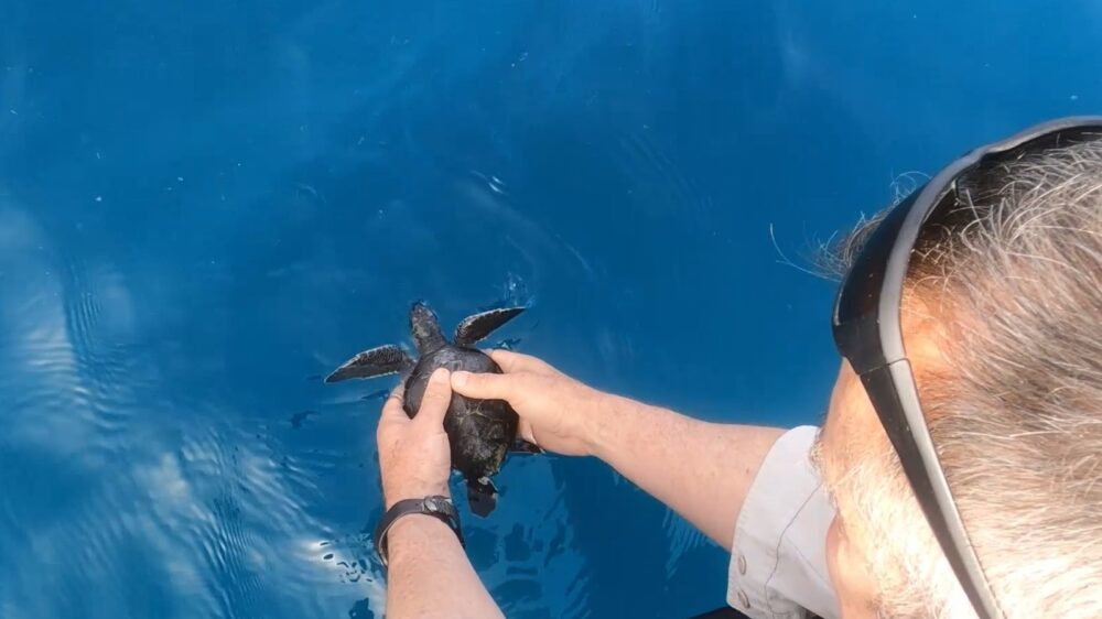 Tar-encrusted Turtles Cleaned And Released Into The Sea