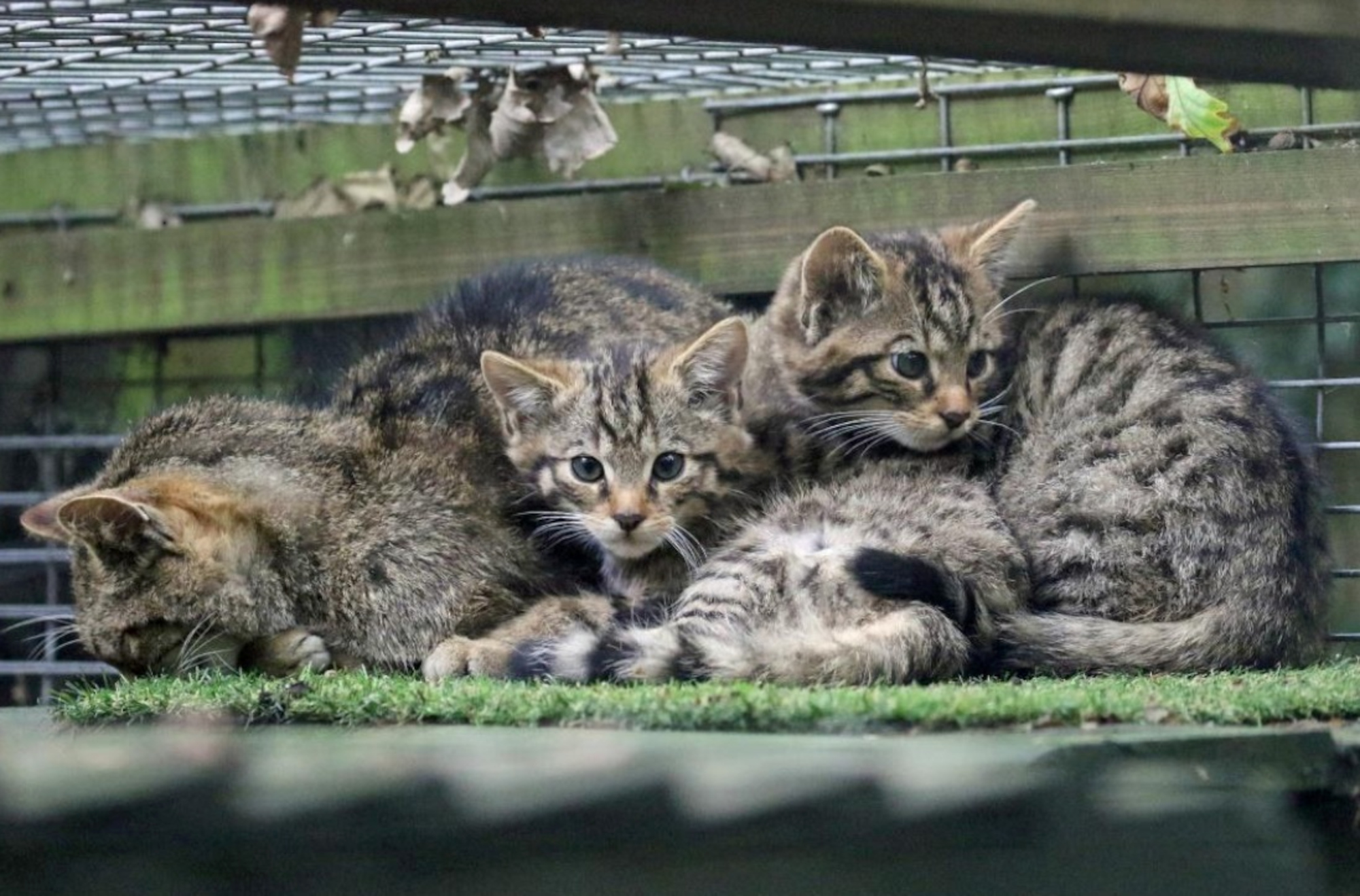 Purr-fect! First Population Of Rare Wildcats Sighted Outside Scottish Highlands In 200 Years