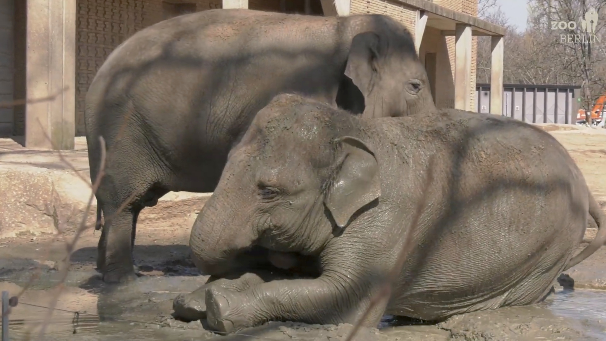 VIDEO: Muddy Marvelous: Female Elephants Get The Spa Treatment