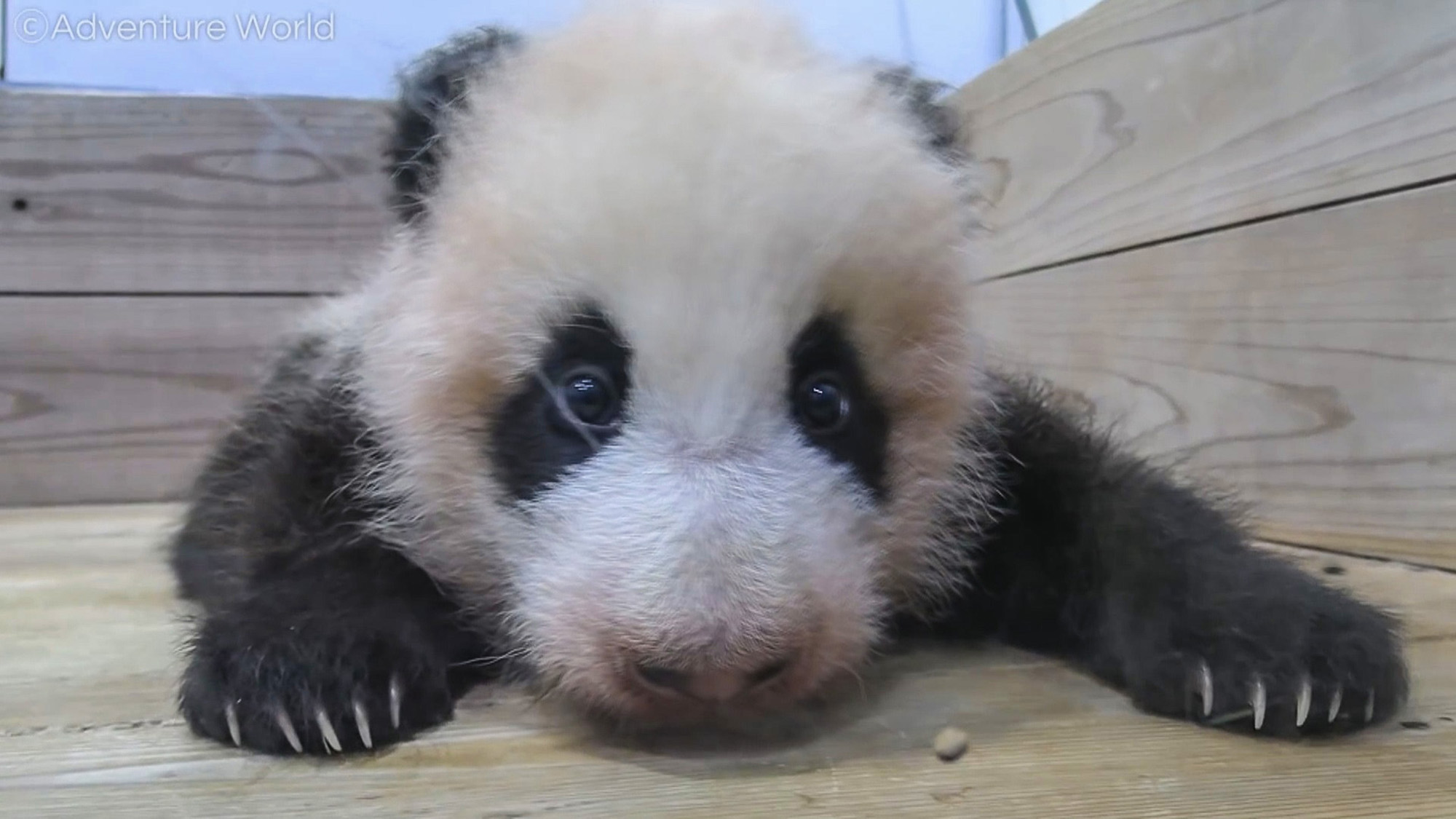 Baby Panda Kaedehama Takes A Fall For Fun