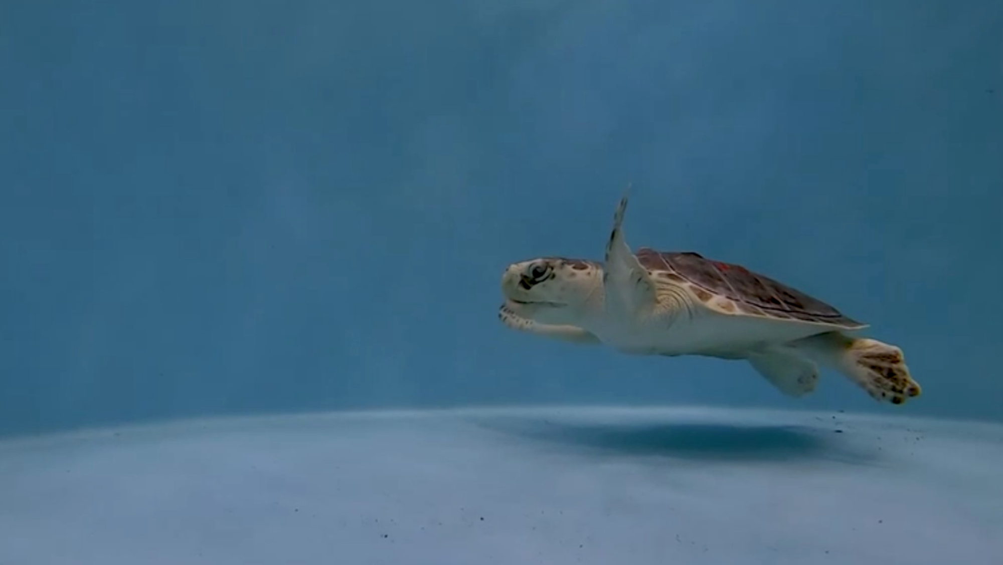 VIDEO: Ready For My Shell-fie: Rescued Sea Turtle Loves Performing For The Camera