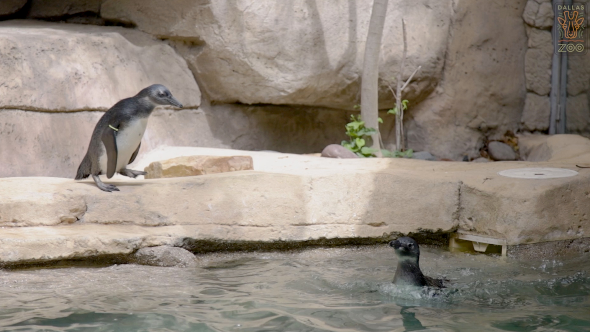 VIDEO: Chickening Out: Penguin Chicks Need Swimming Lessons From Keeper