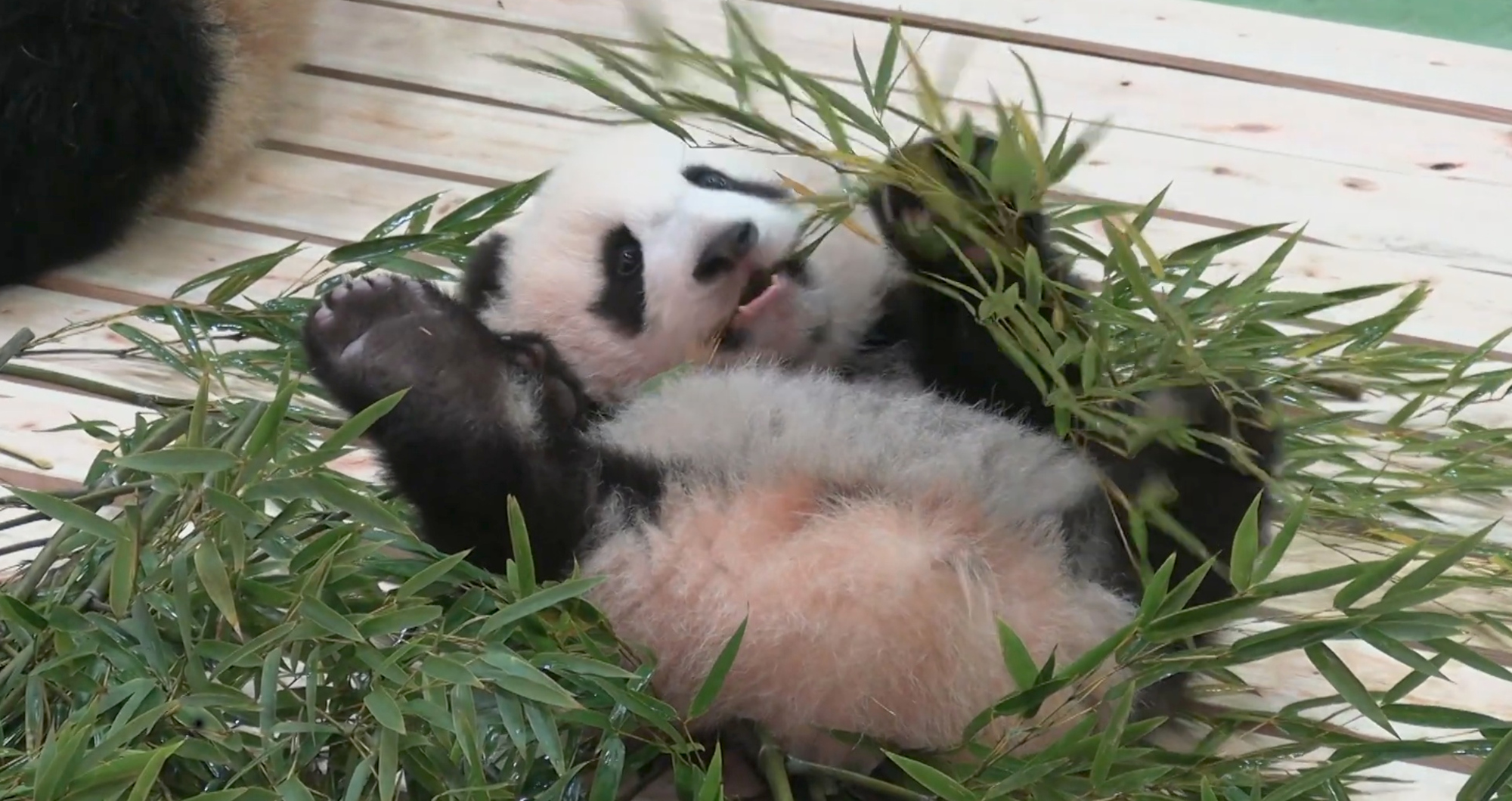 Panda Cub Wrestles With Its Mother