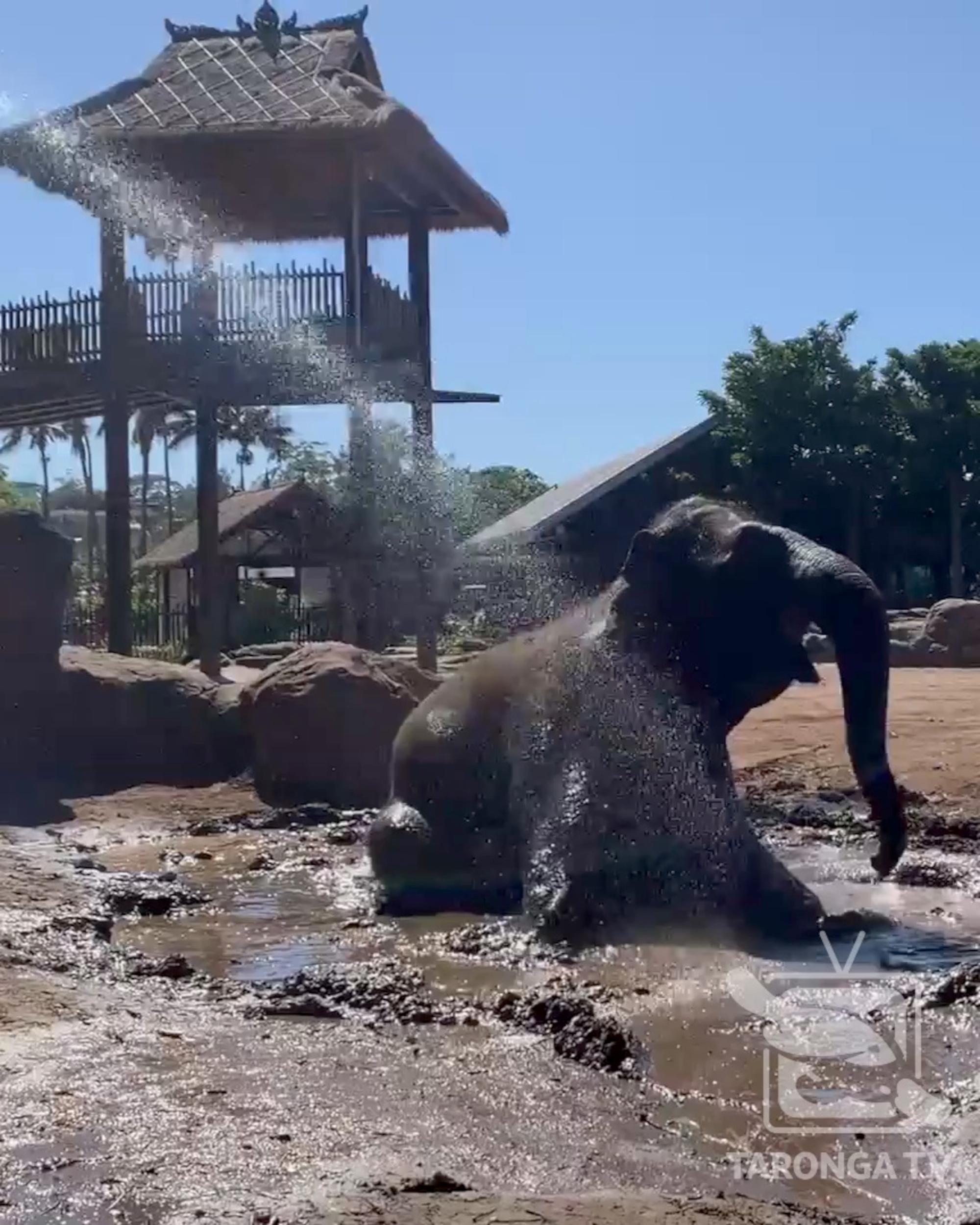 Dirty Fun: Female Elephant Enjoys Mud Bath