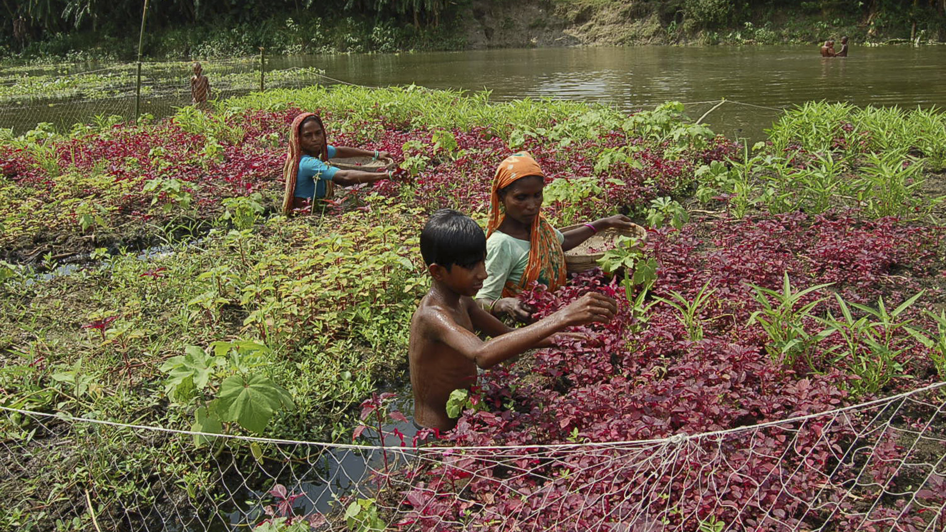 Bangladesh's Floating Farms Fight Climate Change Vagaries