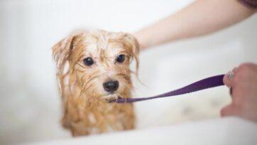 La higiene en las mascotas es un aspecto muy importante para su salud, además de controlor el mal olor. (Benjamín Lehman/Unsplash)