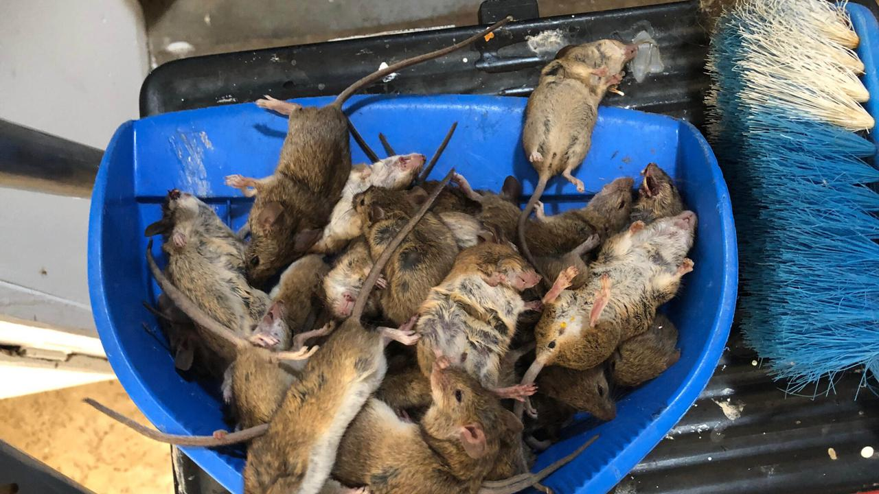 Mouse Of Horrors: Farmers Beg For Public Cash To End 'Biblical' Plaguein Australia
