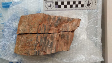 Fossilized piece of an ancient conifer in La Rioja, northern Spain. (Pilar Garcia/Real Press)