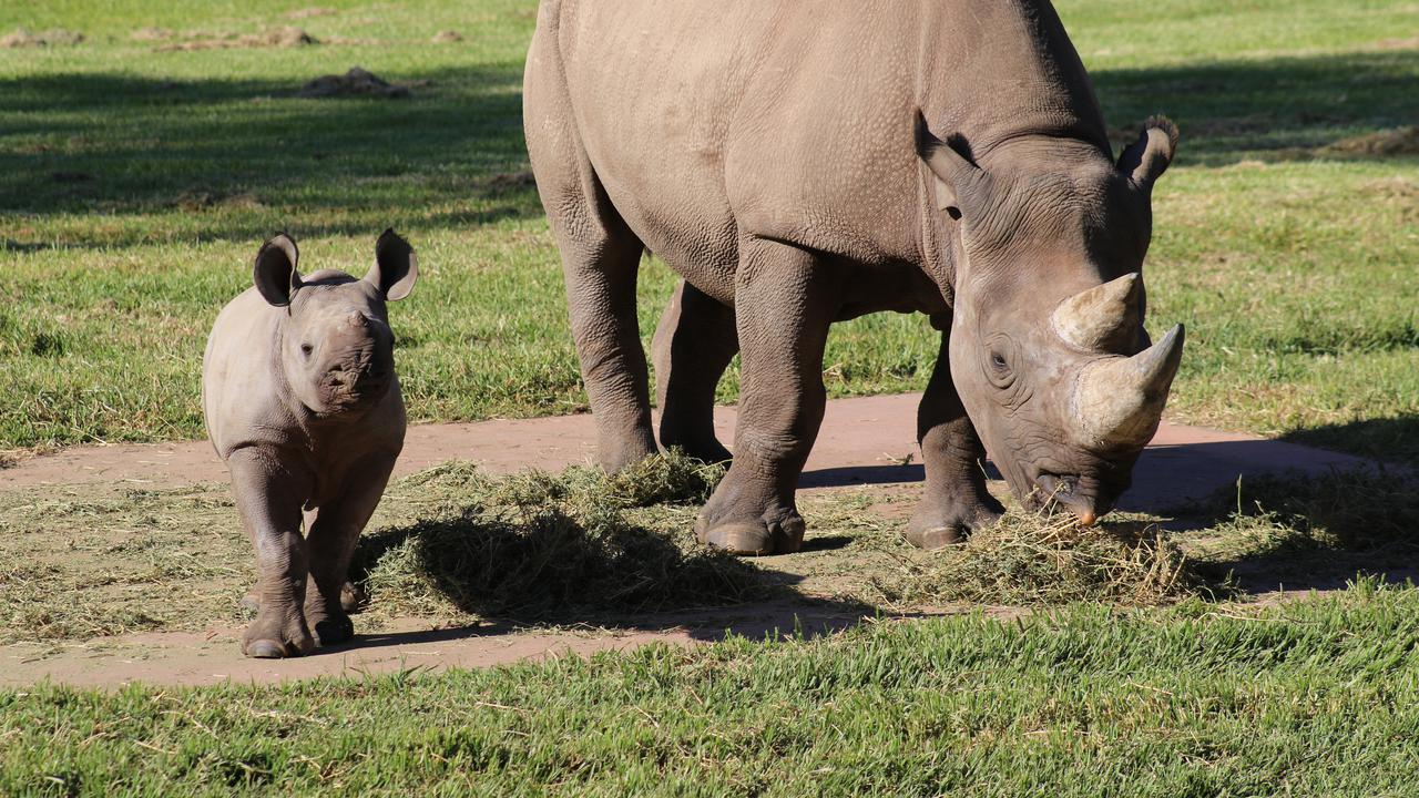 Coochie Coochie Zoo: Rare Black Rhino Calf's Public Debut