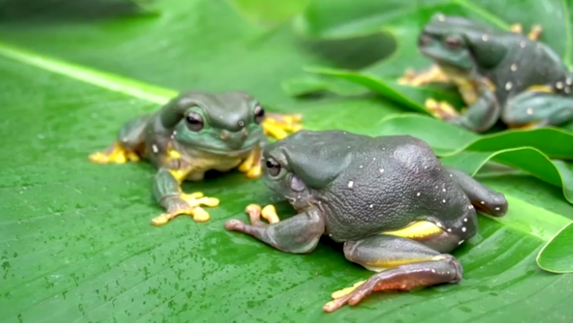 VIDEO: Hoppy Days: Hungry Tree Frogs Can't Get Enough Of Their Insect Snacks