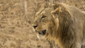 210506_N_Lion_1