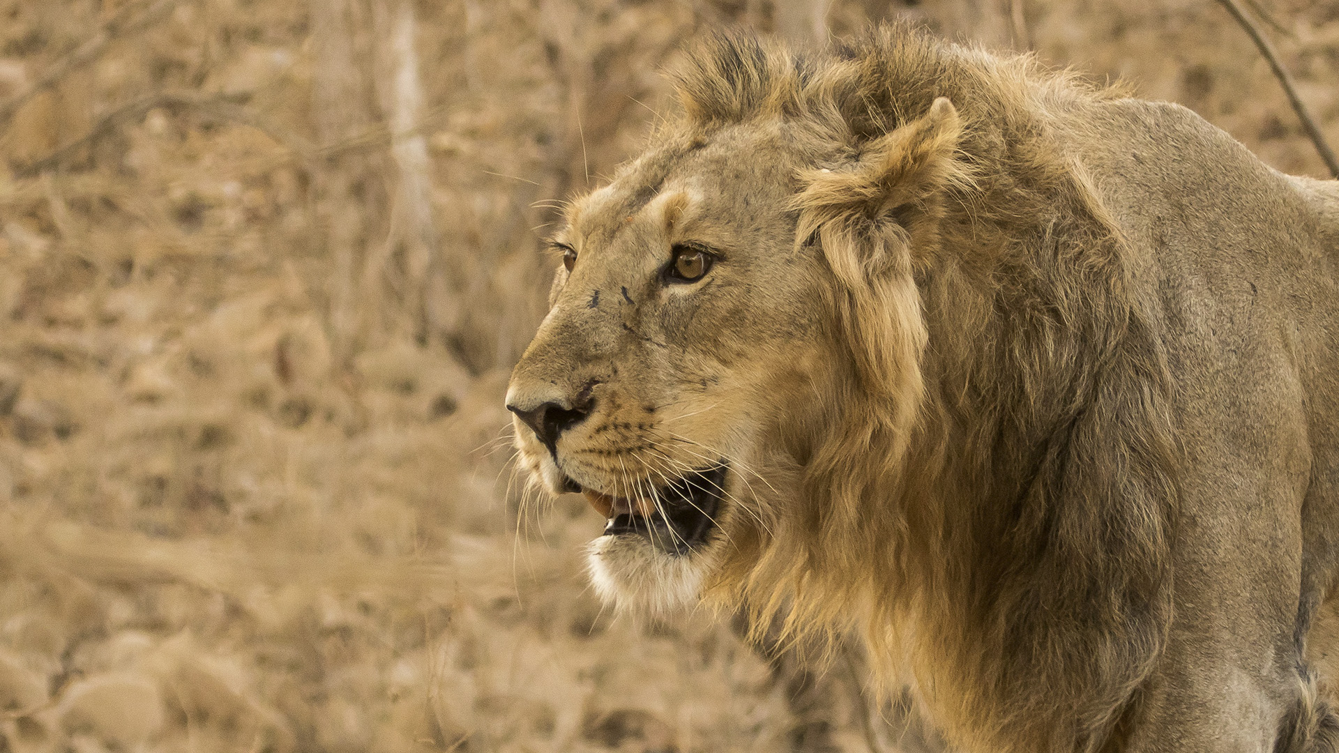 Covid Hits Endangered Asiatic Lions In An Indian Zoo