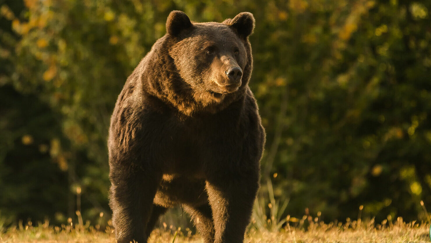 His Royal Unkindness: Fury Over Prince Who Paid $8,500 To Shoot Europe's Biggest Bear