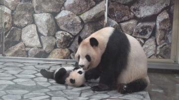 Panda cub playing in the enclosure with its mom at Adventure World, in Shirahama, Japan, on May 5, 2021. (ADVENTURE WORLD/Real Press)
