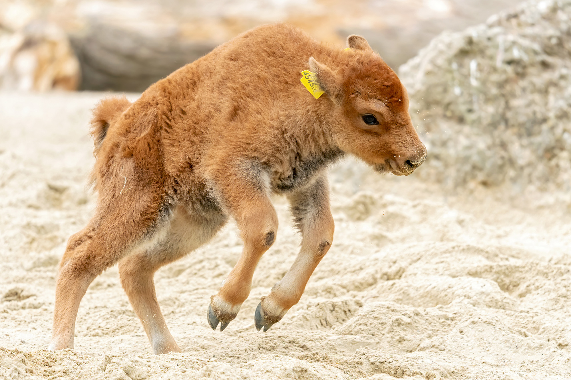 VIDEO: Newborn Calf 'Calamity Jane' Is A Knockout Hit With Zoo Fans