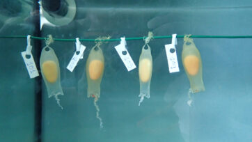 Shark eggs during incubation in the lab, in the Balearic Islands, Spain, 2021. (Asociacion Cayume/Real Press)