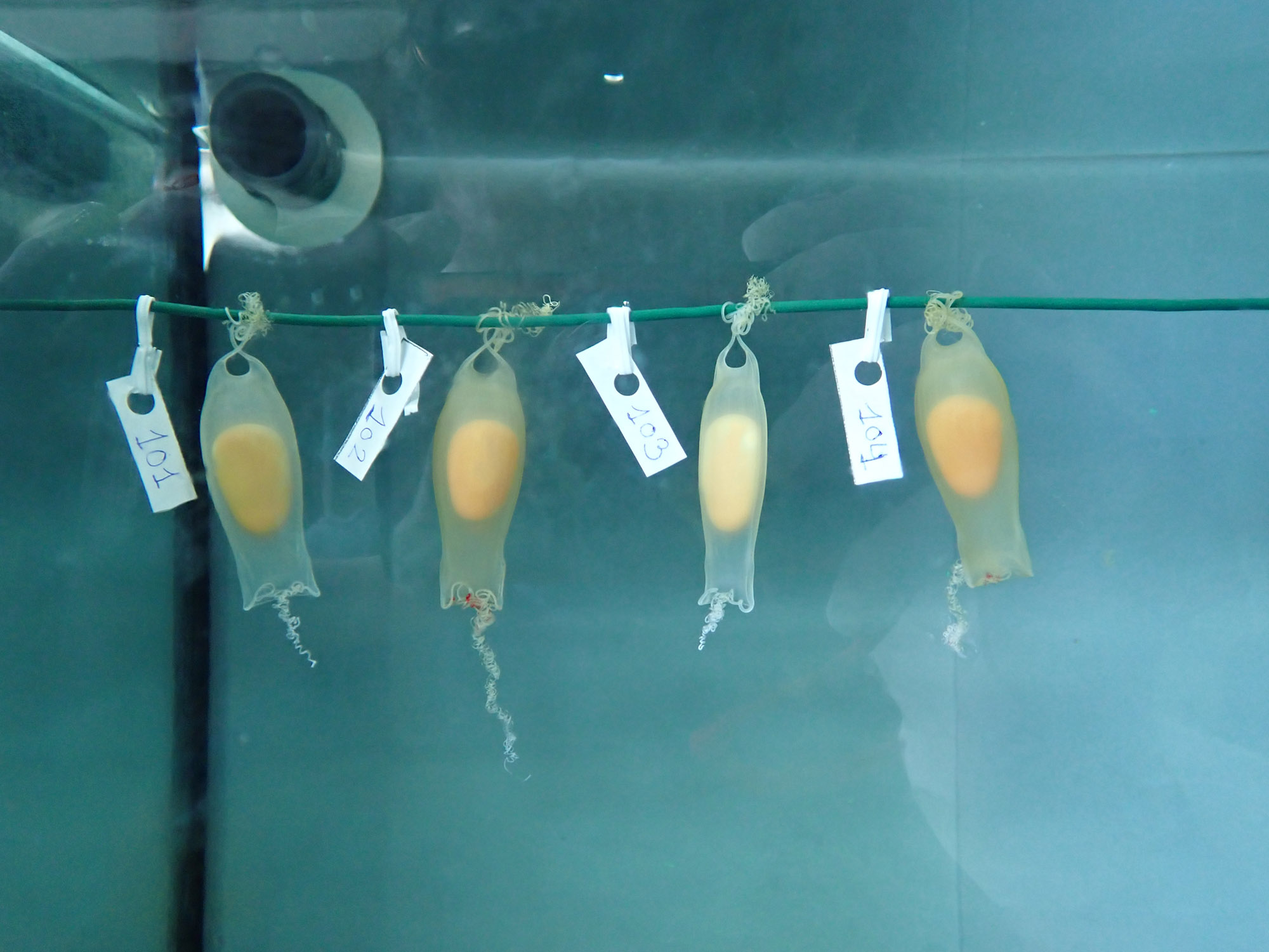 VIDEO: Little Nippers: Baby Sharks Born After Live Eggs Were Spotted In A Fish Market
