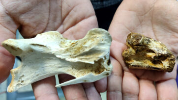 Vertebrae of a current ostrich (left) and that of the dinosaur bird found in Biascas de Obarra, Spain. (Manuel Perez/Real Press)