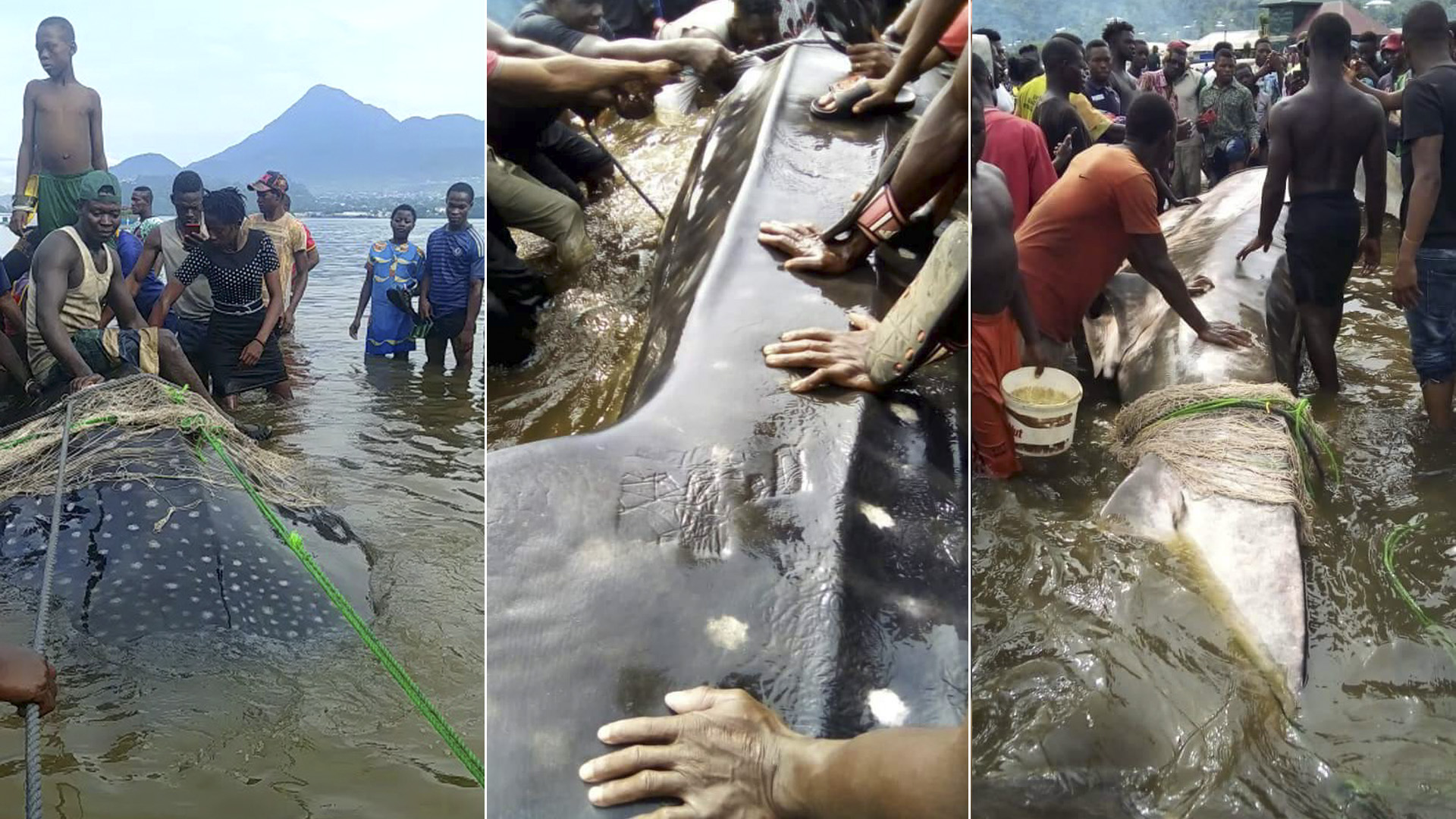The Tragic End Of An Endangered Whale Shark In Cameroon