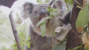 VIDEO: Koala Cub Falls Asleep In Mom's Pouch